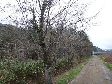安比川堤防の桜並木01(2013.5.1)