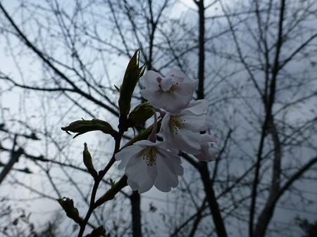 焼走り線の桜並木05(2013.5.6)