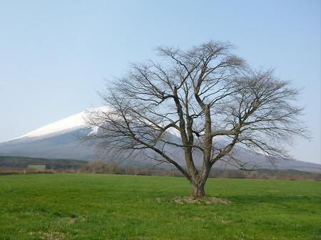 上坊牧野の一本桜01(2013.5.9)