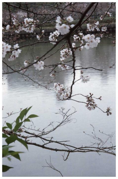 様子見の桜