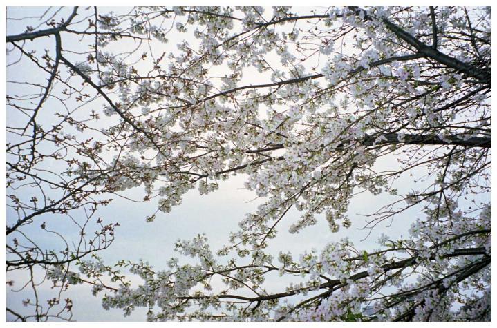 曇り空に溶け込んでいく桜1