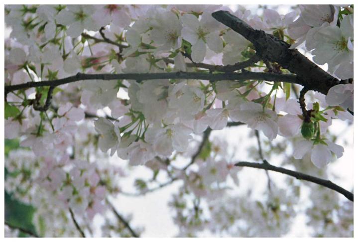 曇り空に溶け込んでいく桜2
