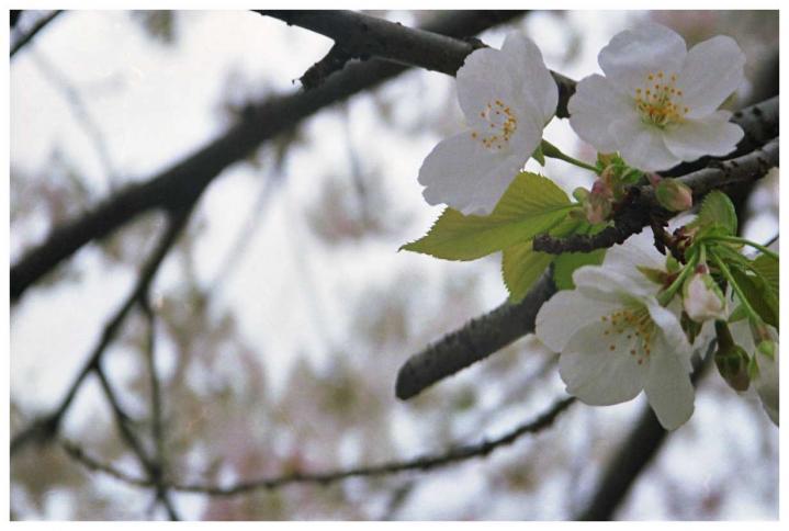 曇り空に溶け込んでいく桜3