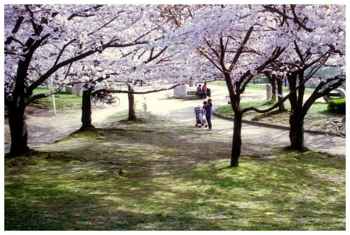 桜咲く丘にて