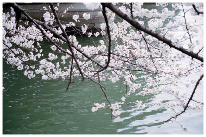 水辺の桜3