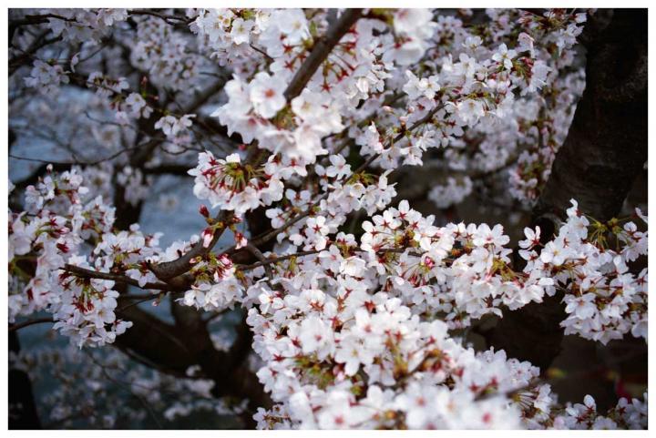 水辺の桜2