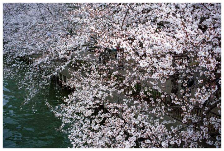 水辺の桜4