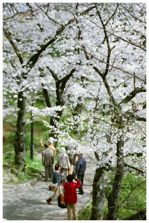 桜と遊歩道2