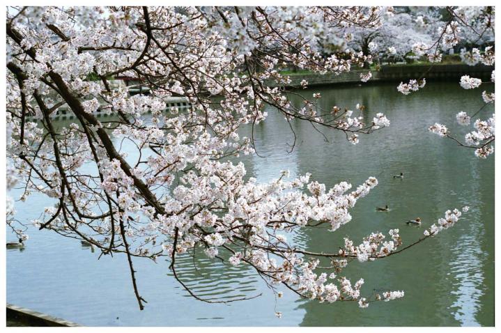 水辺の桜1