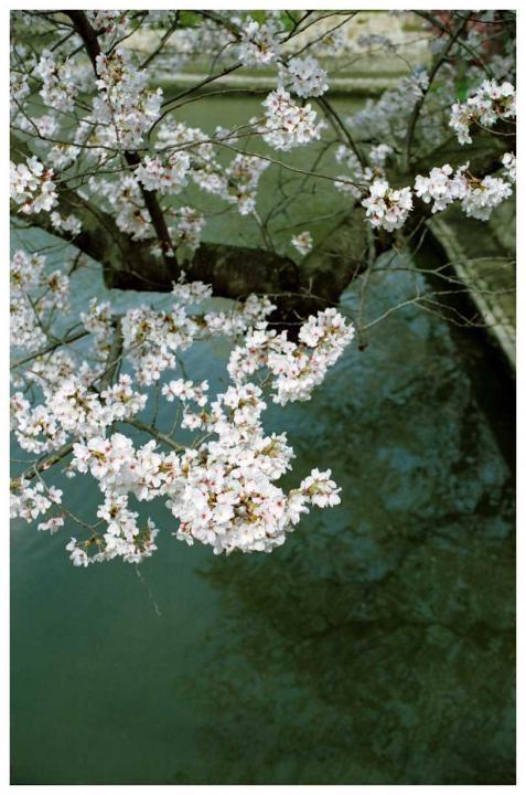 水辺の桜6