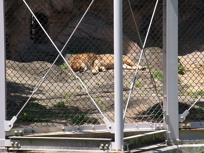 lion130505