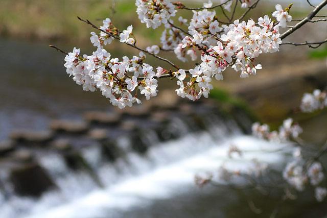 法勝寺川 サクラ 桜