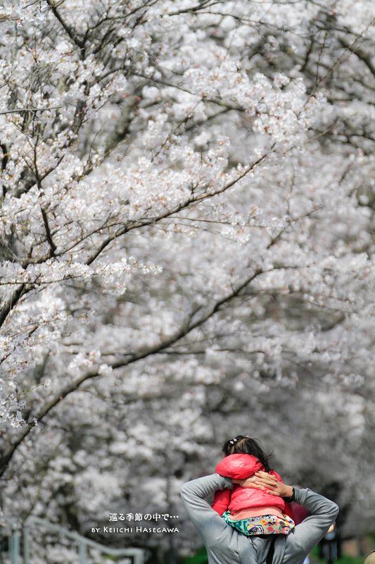 法勝寺川 桜