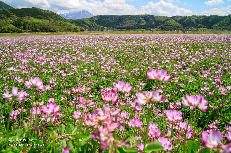 淀江 レンゲ畑