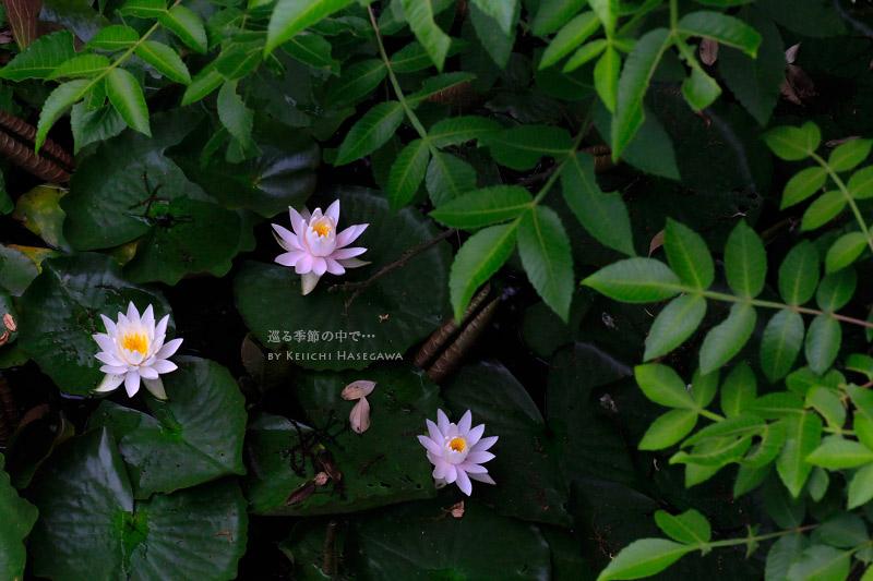 楽山公園 睡蓮