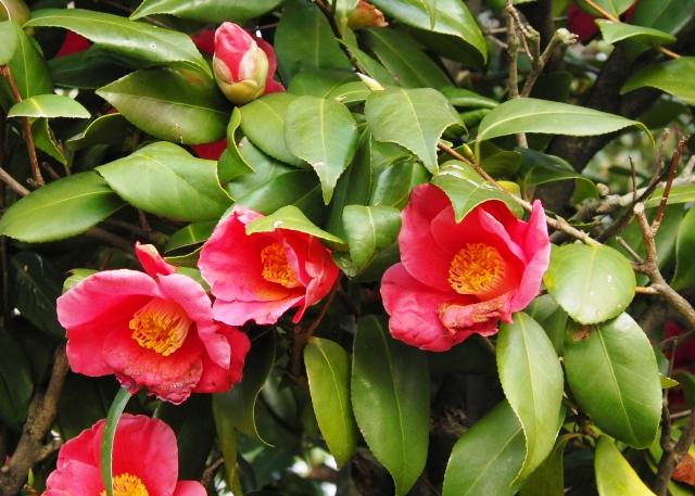 乙女椿とは?その美しい花の特徴や花言葉 ...
