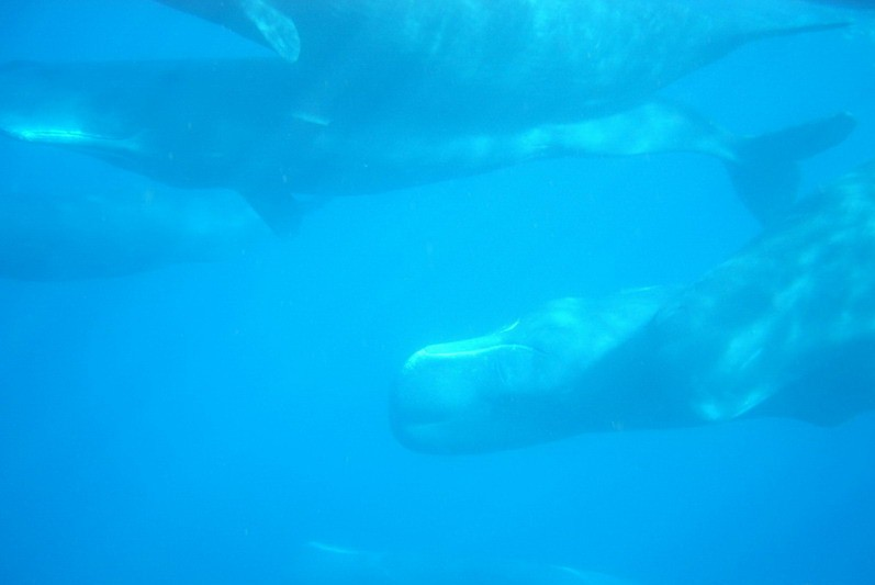 Sperm Whale Encounter UW 04