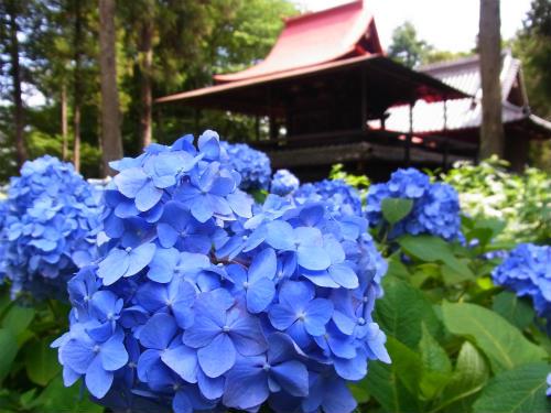 指扇氷川神社の紫陽花 (5)