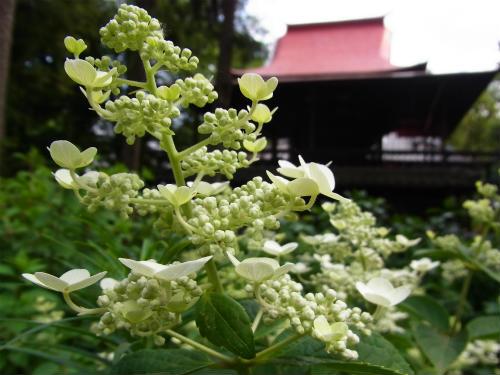 指扇氷川神社の紫陽花 (6)