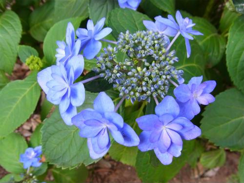 指扇氷川神社の紫陽花 (2)