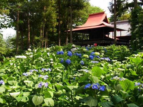 指扇氷川神社の紫陽花 (3)