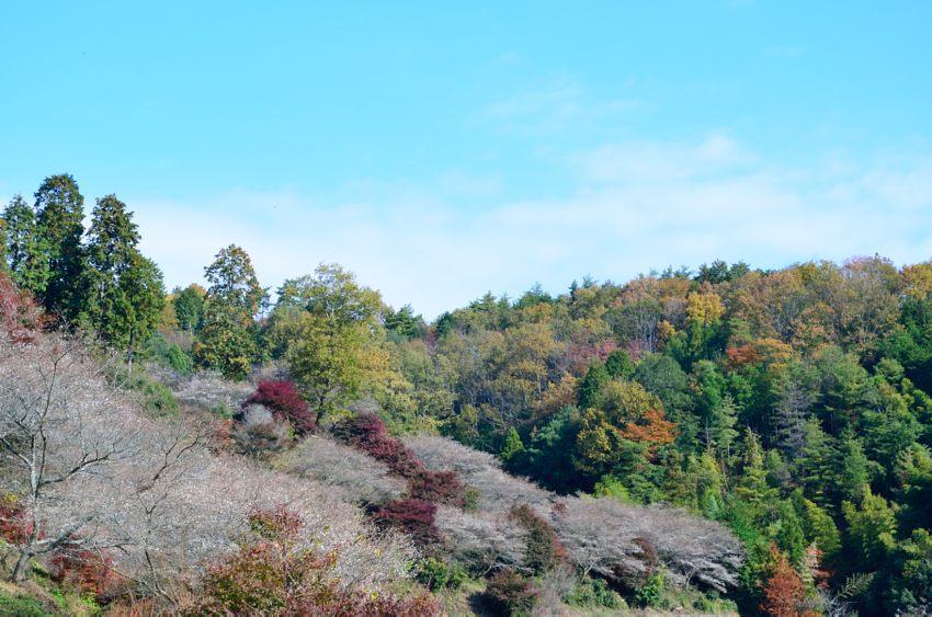 _DSC_2225四季桜