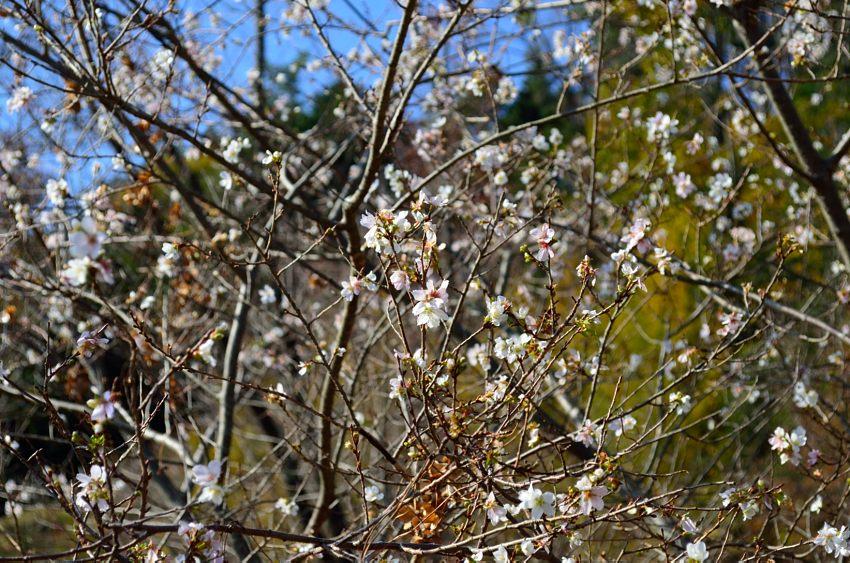 _DSC_2192四季桜