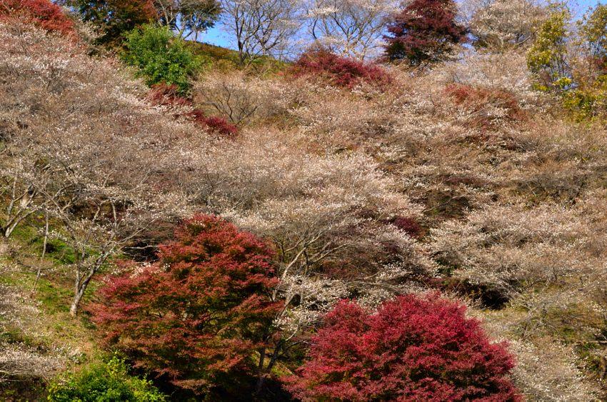 _DSC_2346四季桜