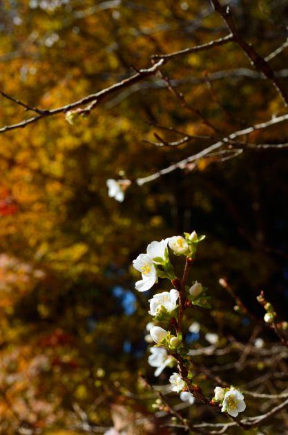 _DSC_2256四季桜