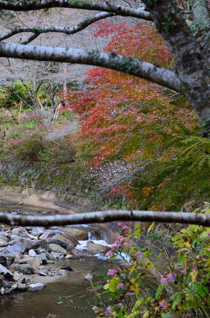 _DSC_2386四季桜