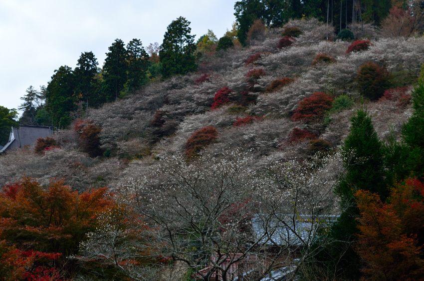 _DSC_2409四季桜