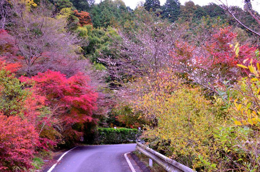 _DSC_2432四季桜