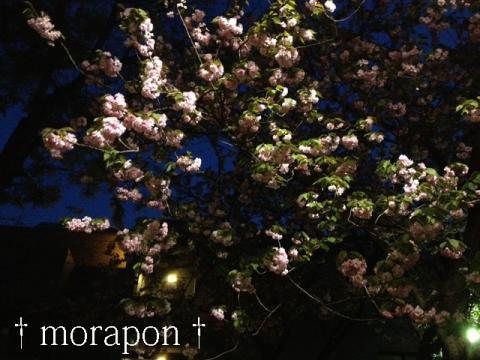 130408 夜桜