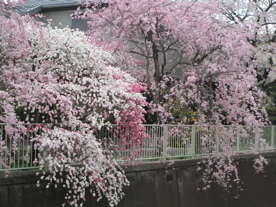 花桃と枝垂れ