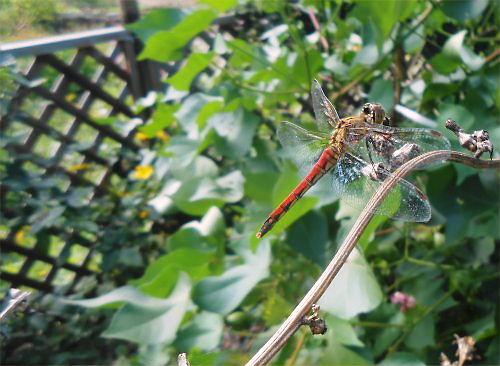 500 20140927 赤蜻蛉in LL菜園01