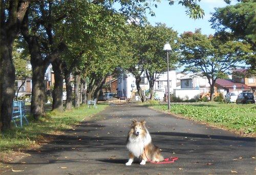 07 500 20141007 桜並木秋晴れ、和田家更地 Erie
