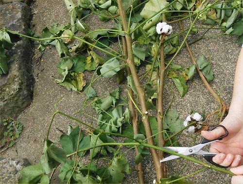 02 500 20141010 綿の収穫byR