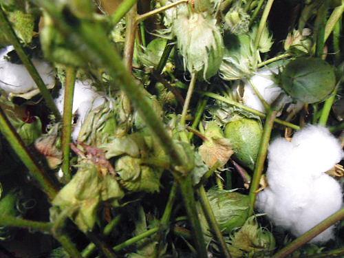 03 500 20141014 収穫した綿