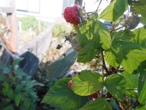 04 500 20141105 raspberries
