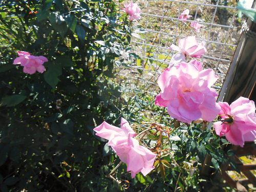 04 500 20141105 roses