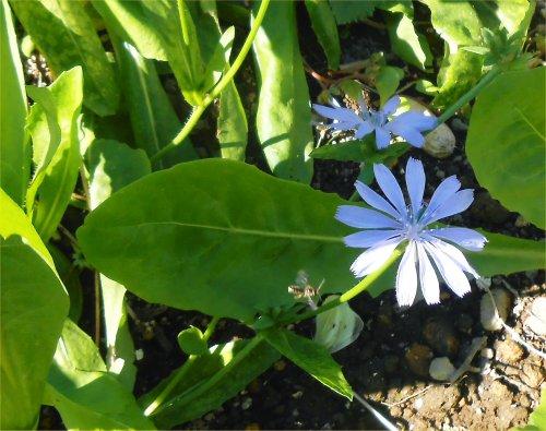 03 500 20141030 チコリの花