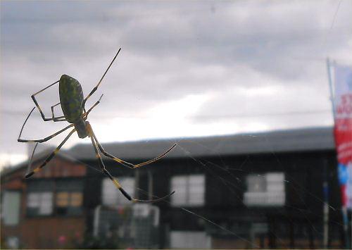 06 500 20141028 頑張れ、女郎蜘蛛inLL菜園01