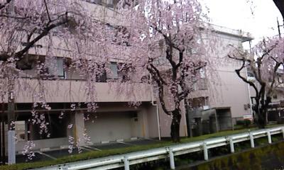 20130402桜