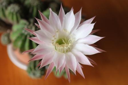 IMG_7199webサボテンの花1