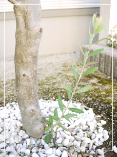 olive2013-01.jpg