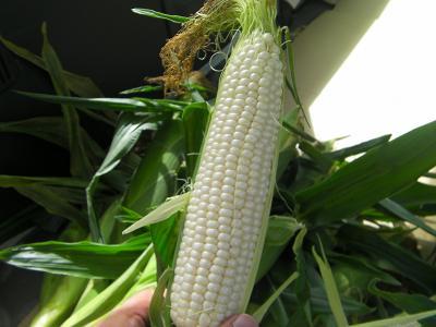 corn6.jpg