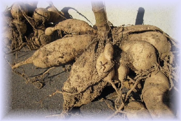掘り起こした大輪ダリア球根