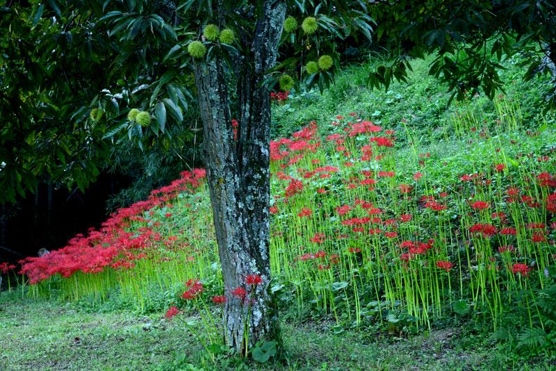 栗林に色づく頃 (香川県 さぬき市 多和)