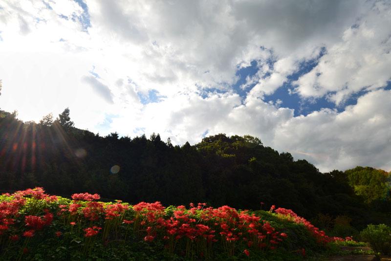 斜光に浮ぶ彼岸花 (香川県 高松市 塩江町)
