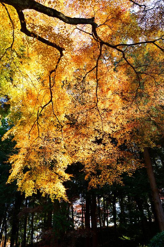 黄金の輝き (香川県 仲多度郡 琴平町)